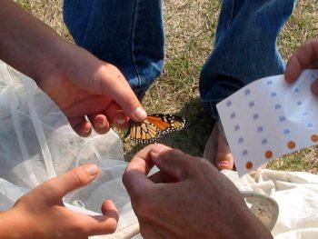 Monarch Tagging Program