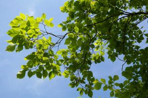 Leaves on an elm tree