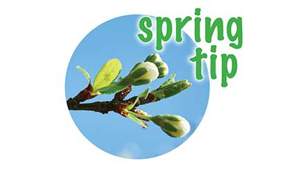Leaf buds. Spring Tips